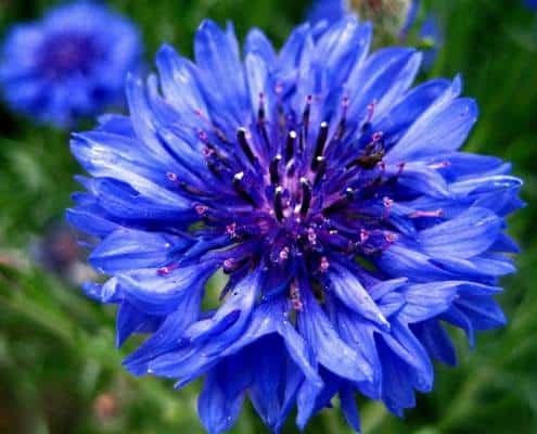 boutonniere blue cornflower