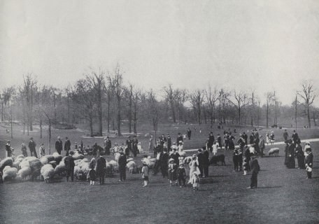 Sheep in Central Park, New York City, ca. 1900-1910.
