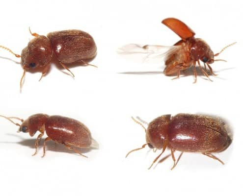 Cigar Beetles
