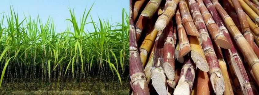 Sugarcane - the base of rum