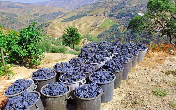 Port Grape Harvesting