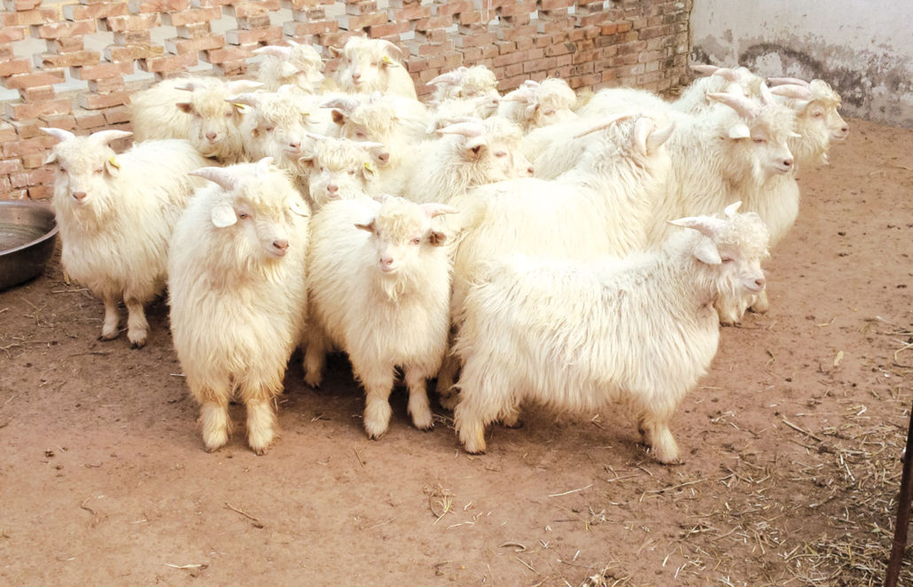 Chèvres Cachemire