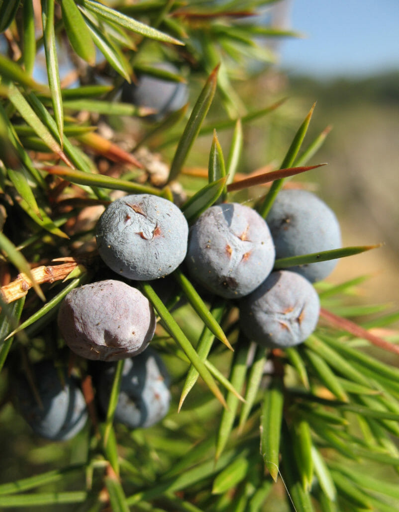 Juniper, the materia prima of gin